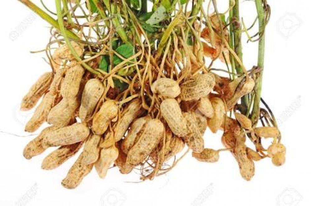 Groundnut image