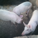 Pigs-Cattle-feeds-poultry-snail etc