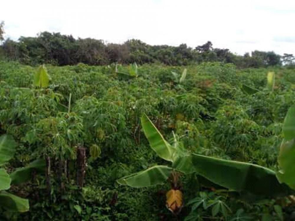 Gari plantain and gmelina image